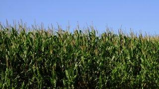 Wisconsin farm cornfield