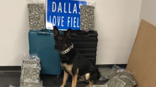 Police K9 Ballentine helped officers find 42 pounds of marijuana at Dallas Love Field on Saturday, Sept. 25, 2021.
