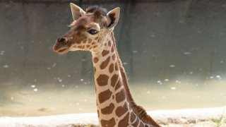 Three-month-old giraffe Marekani was euthanized Sunday after a major injury to her leg, Dallas Zoo officials say.