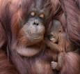 Orangutan Baby Illinois