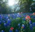 [UGCDFW-CJ-bluebonnets]Bluebonnets At Sunset