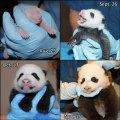 panda-composite-original