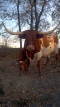 [UGCDFW-CJ-caption this]Longhorn calf with longhorn on forehead