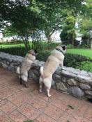 [UGCDFW-CJ-dog days]Dog Days of Summer PUGS ON PATROL