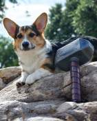 [UGCDFW-CJ]Thor the corgi