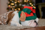 [UGCDFW-CJ-holiday]Bulldog/elf