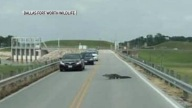 Later Gator: Traffic Stops as Alligator Crosses the Road