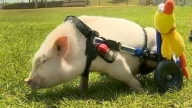 Adorable Disabled Pig Grows Star Power