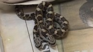 Two-Headed Rat Snake Gets New Home at Central Texas Zoo