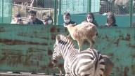 Zebra-Riding Goat Pleasing Crowds