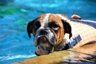[UGCDFW-CJ-dog days]Layla The English Bulldog