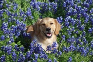 [UGCDFW-CJ-bluebonnets]Gabbi 1 year old golden