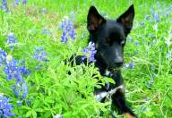 [UGCDFW-CJ-bluebonnets]Guru my dog