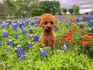 [UGCDFW-CJ-bluebonnets]Rhett on a stormy spring day