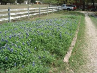 [UGCDFW-CJ-bluebonnets]Bluebonnets at My Farm !