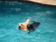 [UGCDFW-CJ-dog days]Pool fun for the Labbies
