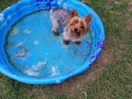 [UGCDFW-CJ]Scooter  my yorkie cooling down in his pool in Kaufman.
