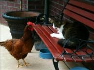 [UGCDFW-CJ-caption this]The Chicken and the Cat