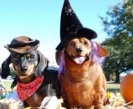 [UGCDFW-CJ-holiday]Halloween Dachshunds
