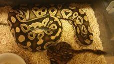 Pet Pythons on the Loose in Georgia Neighborhood