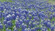 Texas Wildflower Forecast: Hold onto Your Hats!
