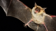 Bat-Killing Fungus Found in Texas