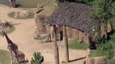 Zebra and Giraffe Tussle at Dallas Zoo