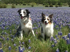 Bluebonnets in Bloom - Gallery II