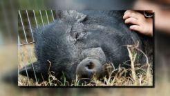 Boar Attacks Family