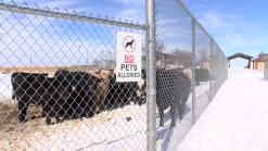 Rangers Round Up Cattle After Blizzard