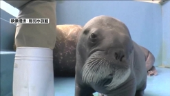 Cute Alert! Baby Walrus Born