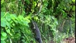 Skilled Gator Climbs Fence