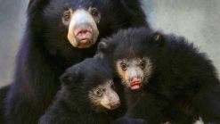 RAW VIDEO: Very Cute Sloth Bear Cubs Unveiled