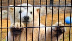 Cute Polar Bear Cub Prepares for New Home