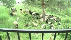 Colorado Turns to Goats in Wildfire Fight