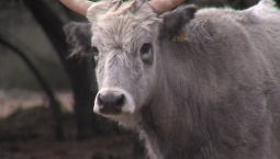 Texas Man Bringing New Cattle Breed to the US