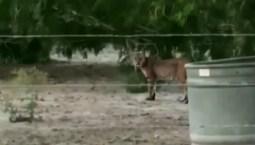 Bobcat Spotted Near Texas Walmart