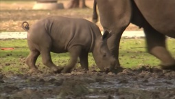 Baby Rhino Caught Playing at Safari Park