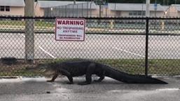 Watch Alligator Stroll by Florida Middle School
