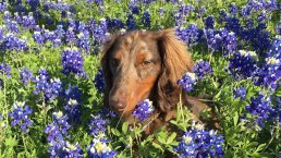 Bluebonnets in Bloom - Gallery III
