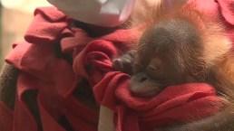 Baby Orangutan Makes Debut at South Carolina Zoo