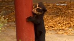 Belgium Zoo Debuts Endangered Bear Cub