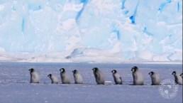 Emperor Penguin Chicks Adorably March in Line