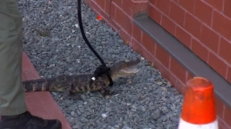 Gator Caught Outside Of City Hall