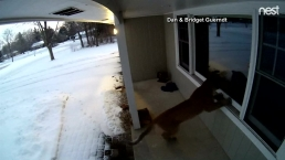 Homeowner Gets Unexpected Cougar Visit