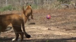 Lions Play in Own World Cup