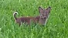 Rescuers Searching for Orphaned Bobcat