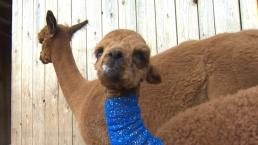 Alpaca Mom Fights Off Cougar to Save Baby