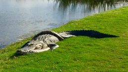 Gator vs. Python Spotted on Golf Course