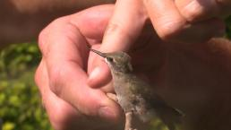 Hummingbird Getting Nursed Back to Health